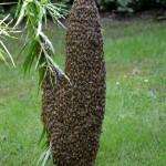 En flok bier sværmer